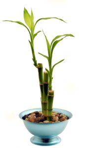 bamboo, houseplant, potted plant